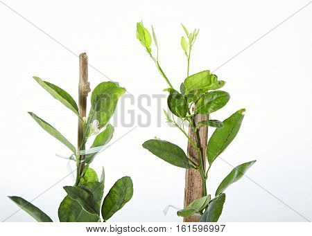 Young Green Lemon Tree