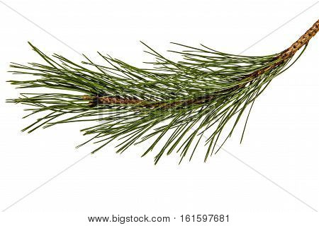 Branch of the pine isolated on a white background