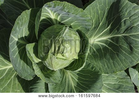 Image of an Organic Cabbage Head Growing