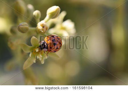 Image of a Ladybug on a Blossom