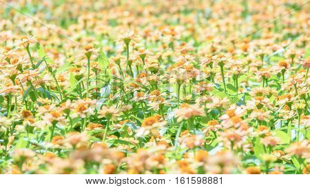 Spring daisy flowers in meadow. Beautiful landscapes.