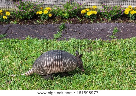 Image of an Armadillo Scrounging Around Outside