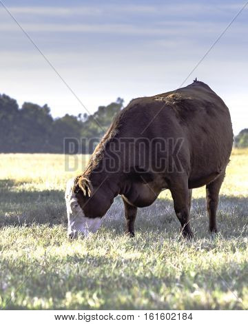 Commercial cow grazing in a dormant pasture - vertical