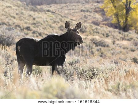 Cow Moose Backlite With Rim Light In Sagebrush Meadow During Autumn Time