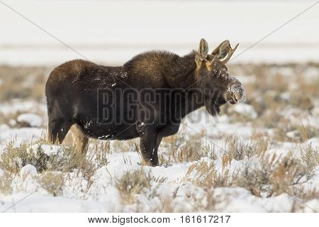 Young Yearling Bull Moose In Sagebrush And Bitterbrush Meadow Foraging In Winter