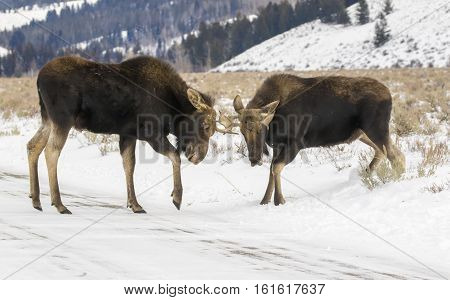 Two Young Yearling Bull Moose Practice Sparring With Antlers With Hills And Mountains In Background