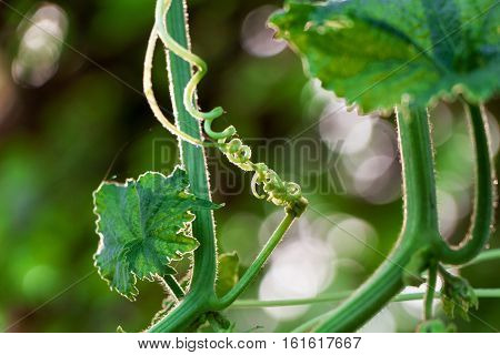 The Green creeping plant in the garden
