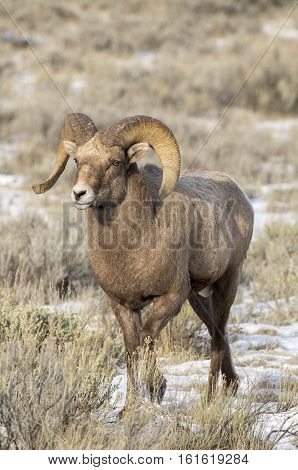 Bighorn Sheep Ram In The Grass And Sagebrush With Snow On Ground During Autumn Or Fall