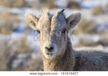 Young bighorn sheep in winter with grass