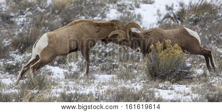 Bighorn Sheep Rams Head Butting During Rut In The Autumn Of Year