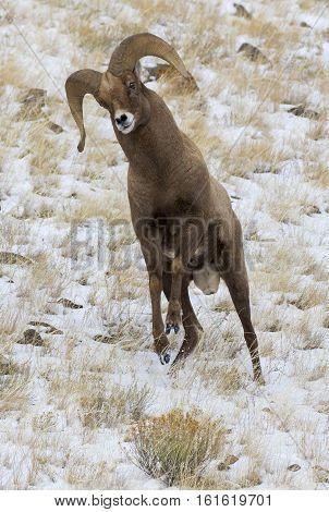 Bighorn Sheep Ram In Strke Mode For Head Butting During Rut