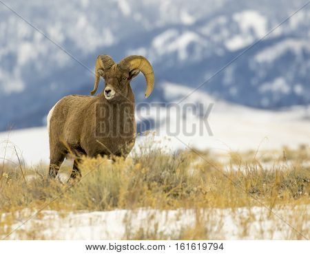 Bighorn Sheep Ram  In Grass Meadow With Mountains In Background