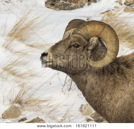 Bighorn Sheep Ram Profile Portrait With Snow And Grass In Background