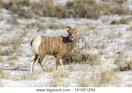 Ewe bighorn sheep standing in snow in middle of grass and sagebrush meadow
