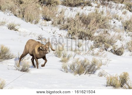 Ram Bighorn Sheep Smelling For Pheromones And Following Ewes During Rut In December