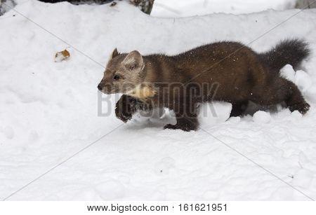 Pine Marten Walking In Deep White Snow, Profile View, In Winter Time