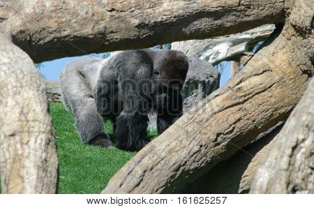 Gorilla silver macho scrabbling around in the nature