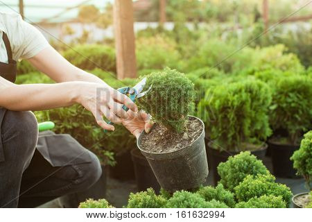 Female hands cutting seedlings in a pot using secateurs at greenhouse