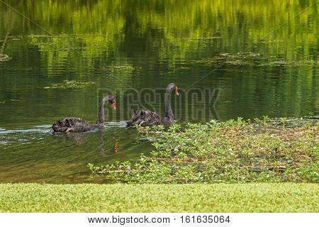 A pair of large black swans waterbird swimming in the lake during sunny day in Singapore, Asia (Cygnus atratus)