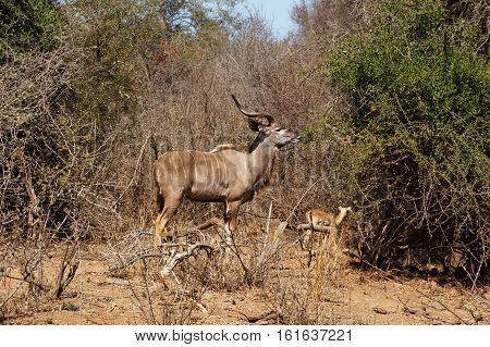male of the Greater kudu in South Africa one of the largest species of antelope a Bull can weigh 190-270 kg