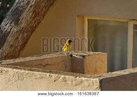 Weaver bird by house in Royal Natal National Park Drakensberg, South Africa