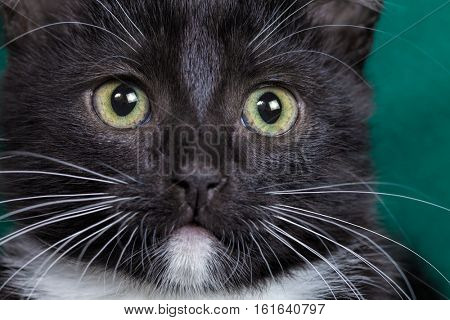 Male black and white kitten closeup
