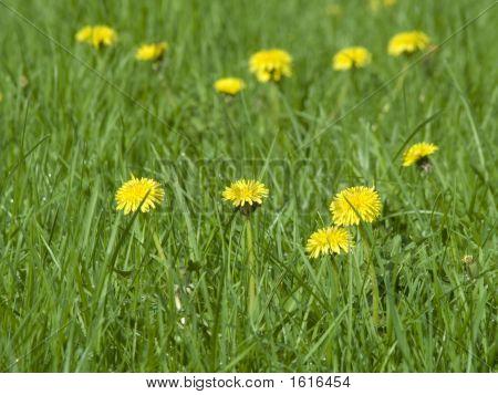 Springtime Dandelion Flowers