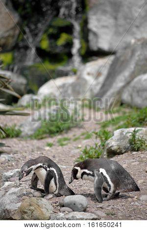 penguins in fota wildlife park near cobh county cork ireland