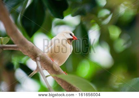 Fawn shaftail finch rare Australian bird on a brach. Selective focus.