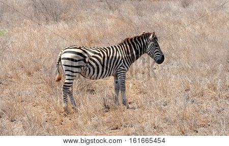 Zebra showing the severe scars from a wound received from being attacked by a predator in the Kruger National Park in South Africa.