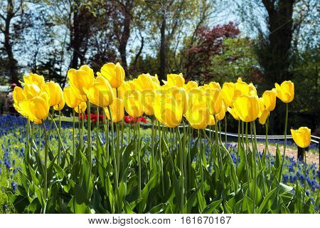 Yellow tulips blooming in spring season in garden at Netherlands.