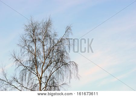 Birch treetop without leaves and light blue sky