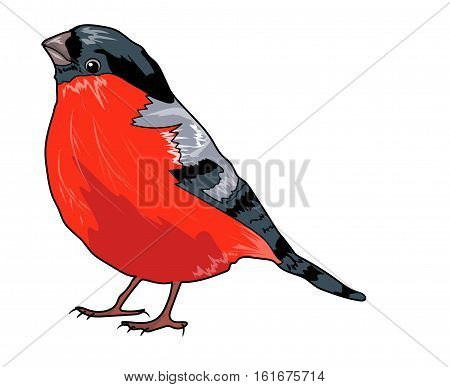 Bullfinch with red breast on a white background.