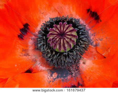 Oriental Poppy (papaver orientale) showing anther and polen detail