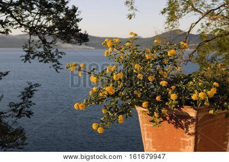 Yellow flowers in Anguillara over Bracciano lake Italy