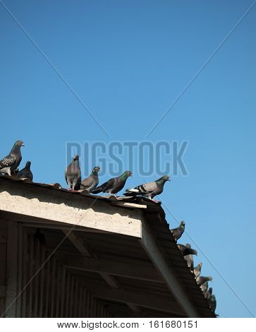 COLOR PHOTO OF PIGEONS ON THE ROOF