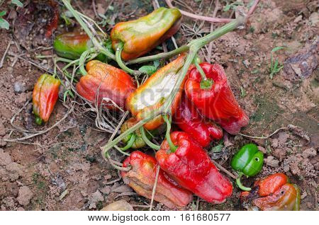 sweet pepper disease viral diseases and biological pests and physiological disorders