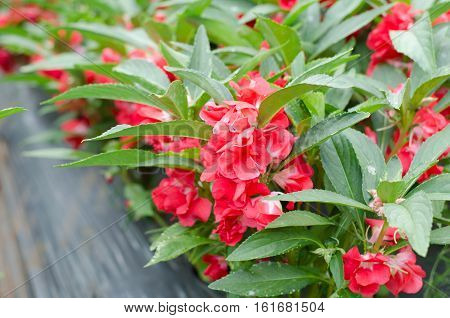 Red Garden Balsam Impatiens Balsamina Linn flower in garden
