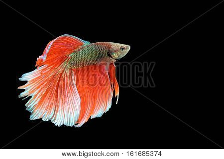 Capture the moving moment of big ear siamese fighting fish isolated on black background.
