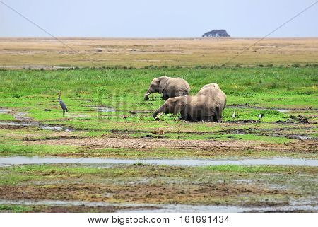 African elephants feeding in the swamp at sunrise n Amboseli national park Kenya Africa