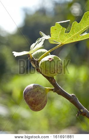 part of plant of fig tree with fruits and leafs