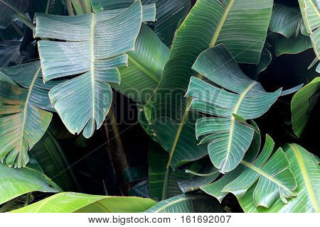 big green Banana leaves in garden in summer