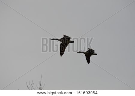 A pair of geese flying in the sky