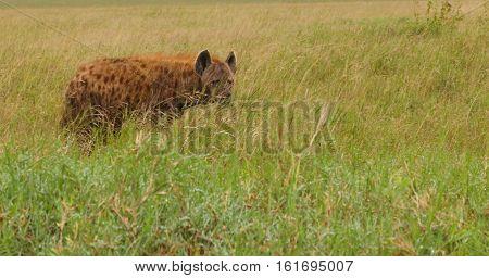 Wild animal, mammals, African Wild Dog in the grass.