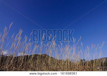 Dried Grass Under The Blue Sky