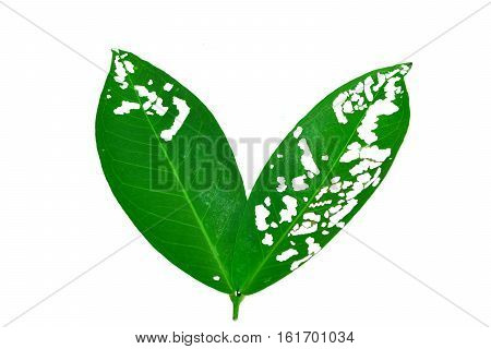 Rose apple worm pests eat the leaves were so damaged isolated on white background with clipping path.