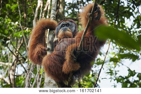dominant male orangutan in the jungles of Sumatra Bukit Lawang