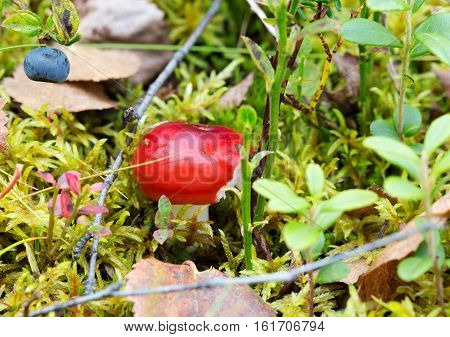 Young red mushroom in the green green grass