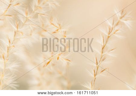 Close up of ornamental grassy panicles in autumn.