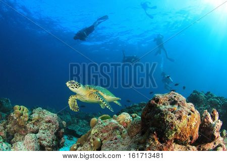 Hawksbill Sea Turtle with people scuba diving in background